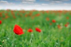 Rotes Mohnblumeblumenfeld Stockfoto