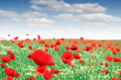 Rotes Mohnblumeblumenfeld Stockbild