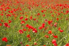 Rotes Mohnblumefeld Stockbilder