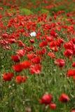 Rotes Mohnblumefeld mit einer weißen Mohnblume lizenzfreie stockbilder