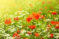 Rotes Mohnblumen- und Gänseblümchenblumenfeld Lizenzfreies Stockbild