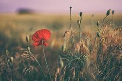 Rotes Mohnblumenblumenfeld Lizenzfreies Stockfoto