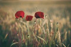 Rotes Mohnblumenblumenfeld Stockbilder