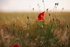 Rotes Mohnblumenblumenfeld Stockbild