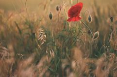 Rotes Mohnblumenblumenfeld Stockfoto
