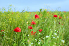 Rotes Mohnblumenblumenfeld Stockfotos