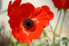 Rotes Mohnblumenköpfchen Stockbilder
