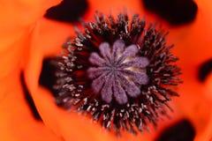Rotes Mohnblumenköpfchen Stockbild