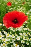 Rotes Mohnblumepapaver- und -kamillenblumenwachsen auf bunter Wiese in der Landschaft Frühlingsfeld in der Blüte Stockfotos