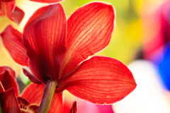 Rotes Orchideen-Makro Stockfotos
