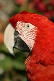 Rotes Papageienportrait Lizenzfreie Stockfotografie