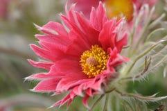 Rotes pasqueflower stockbild