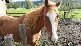 Rotes Pferd Stockfotografie