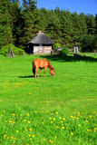 Rotes Pferd auf einer Wiese Stockbilder