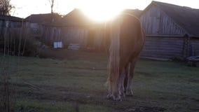Rotes Pferd, das im Dorf am Sonnenuntergangherbst weiden lässt stock video