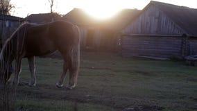 Rotes Pferd, das im Dorf am Sonnenuntergangherbst weiden lässt stock footage