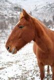 Rotes Pferd im Winter Stockfoto
