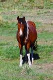 Rotes Pferd auf der grünen Wiese Lizenzfreie Stockfotografie