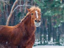 Rotes Pferdenportrait Stockfoto