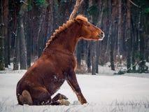 Rotes Pferdesitzen Stockfotografie