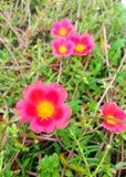 Rotes portulaca Grandiflora stockfotos
