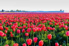 Rotes purpurrotes Tulpenfeld Stockfotos