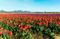 Rotes purpurrotes Tulpenfeld Lizenzfreie Stockbilder