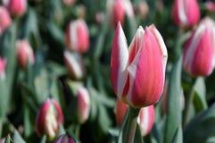 Rotes rötliches mit weißer Tulpe Stockbilder