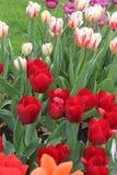 Rotes Rosa der Tulpen stockbild