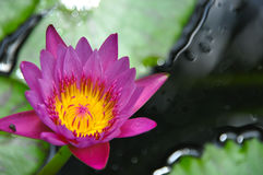 Rotes rosa Lotus Stockbild