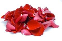 Rotes rosafarbenes Blumenblatt auf weißem Hintergrund Stockbilder