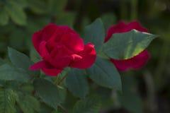 Rotes Roseblühen lizenzfreie stockfotografie