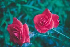 Rotes Rosen-Blühen Stockfotos