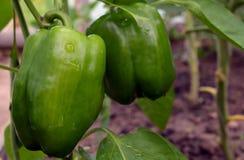 Rotes süßes rohes kochendes organisches weißes vegetarisches Gemüse der Diät des grünen Pfeffers des Bestandteilgartennahrungsgrü Lizenzfreie Stockfotografie