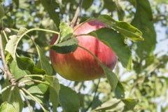 Rotes saftiges Apple, das am Baum hängt lizenzfreie stockfotografie