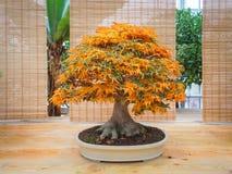 Rotes Scharlachrot Bonsaiahornbaum Acer palmatum Bonsai-Baum des Dreizackahorns in Herbst shishigashira mapple Bonsais Stockfoto