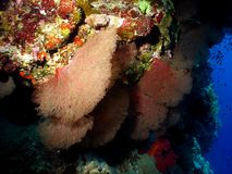 Rotes Seafan Lizenzfreie Stockbilder