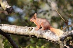 Rotes squirrell. Stockfotos