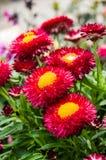 Rotes Strawflowers im bllom mit Blättern Stockfotografie