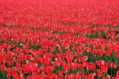Rotes Tulpefeld Stockbilder