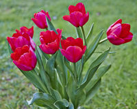 Rotes Tulpenbündel Stockfotografie