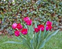 Rotes Tulpenbündel Stockfoto