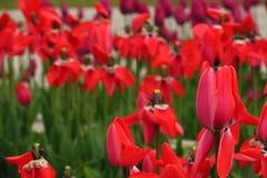 Rotes Tulpenfeld in den Niederlanden Rote Tulpefelder Rote Tulpen-Ansicht Rote Tulpenfelder in Holland stockbild