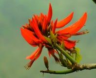 Rotes Tung Rote Tungs-Blumen Blumen Lizenzfreie Stockfotos