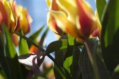 Rotes u. gelbes Tulpen-Feld in Holland Stockfotos