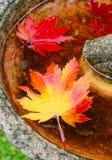 Rotes und gelbes Ahornblatt Stockfoto