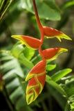Rotes und gelbes Heliconia Lizenzfreies Stockbild