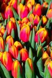 Rotes und gelbes Tulpeblühen Lizenzfreies Stockfoto