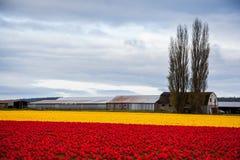 Rotes und gelbes Tulpenfeld Stockbilder