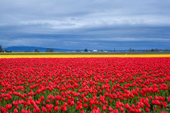 Rotes und gelbes Tulpenfeld am bewölkten Tag Stockfotos